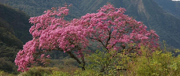 Strom Lapacho TEE.SK